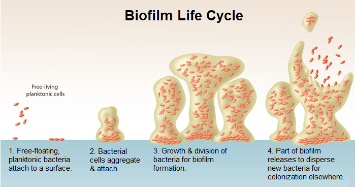 restore 3 Biofilm Life Cycle
