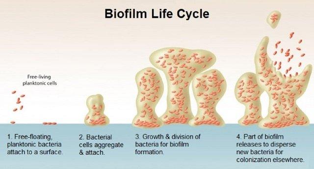 Biofilm Life Cycle